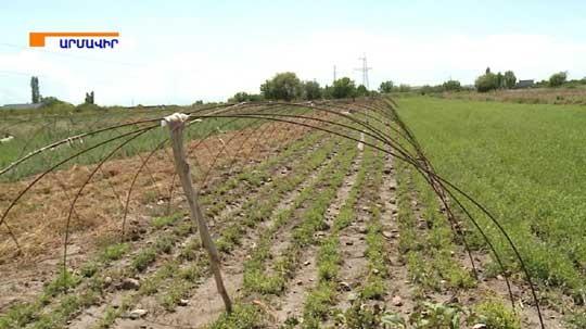 Ձվի մեծության ուժեղ կարկուտ Արմավիրում. Ոչնչացված է գյուղացիների գրեթե ամբողջ բերքը