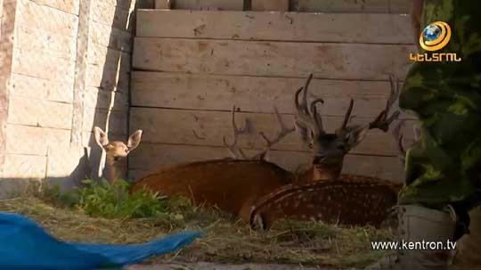 Գագիկ Ծառուկյանի նախաձեռնությամբ Վայոց ձորի անտառներում բաց է թողնվել ազնվացեղ եղնիկների մեծ խմբաքանակ
